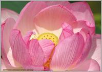 蓮の花とヤンマ - 野鳥の素顔 <野鳥と日々の出来事>