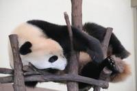 どうしても木の上で寝たい結浜♀ - 山とPANDA