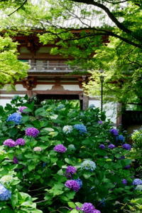 久安寺~境内に咲く紫陽花~ - ぶらり休暇
