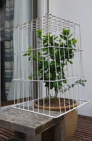 ブルーベリーの鉢植えその2 -