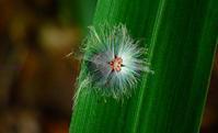 ベッコウハゴロモの幼虫 - 旅のかほり
