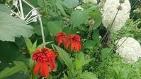 赤い花と白いホリホック - 今から・花
