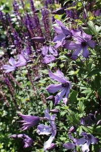 クレマチス流星のネジネジ&デスラー総統 - ペコリの庭 *