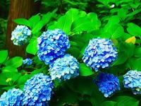 円覚寺紫陽花 - 風の香に誘われて 風景のふぉと缶