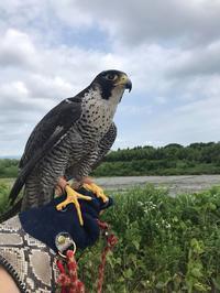 野生猛禽のトレーニングとSTOOPERグローブ - 新米ファルコナー(鷹匠)の随想録