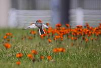 赤い舞台。 - 季節の野鳥~Wildbirds archives