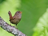 緑陰のミソサザイ。 - 季節の野鳥~Wildbirds archives
