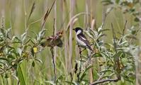 ノビタキ家族。 - 季節の野鳥~Wildbirds archives