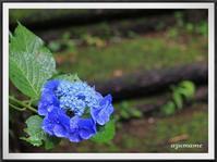 東那須野公園の紫陽花と苔 - キルトとステッチ時々にゃんこ