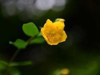 キンシバイ - ブナの写真日記