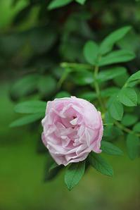 7/6梅雨中の花 - 「あなたに似た花。」