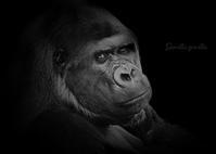 ニシゴリラ:Gorilla gorilla - 動物園の住人たち写真展(はなけもの写眞店)