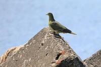 アオバト - 今日の鳥さんⅡ