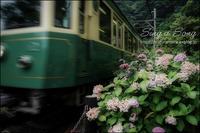 紫陽花はうたう - すずちゃんのカメラ!かめら!camera!