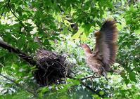 ミゾゴイの親鳥は、ヒナらの大きな口の中に嘴を突っ込んで給餌 - THE LIFE OF BIRDS ー 野鳥つれづれ記