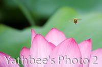 ~ ミツバチの夏 ~2019.7.6 - Yathbee's Photo 2