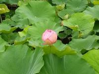東寺さんの「蓮の花」が咲き誇っていました。 - 京都の骨董&ギャラリー「幾一里のブログ」