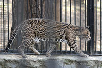 2019/05/03-05 ノボシビルスク動物園15 オセロット・サーバル・トナカイ・ドール - 墨色の鳥籠