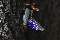 オオムラサキとスズメバチ - 蝶と自然の物語