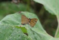 ミヤマカラスシジミとトラフシジミの交尾 - 蝶超天国