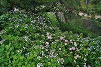 夙川公園の紫陽花 - たんぶーらんの戯言