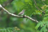 コサメビタキの幼鳥 - 近隣の野鳥を探して
