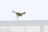 トカゲを捕まえたチョウゲンボウ - fumufumu日記