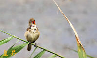 葦にとまるや、ウルサイほど鳴きどうす撮る方もウルサイ鳥だ。誠 - 皇 昇
