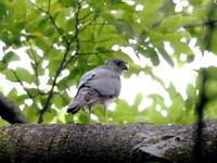 餌を運ぶツミの♂ - コーヒー党の野鳥と自然 パート2