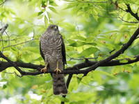 巣材を運ぶツミの♀ - コーヒー党の野鳥と自然 パート2