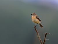 湿原のノビタキたち(レンゲツツジはシーズン終了) - トドの野鳥日記