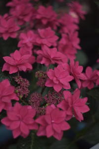 Red Hydrangea - aya's photo