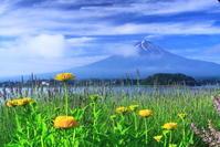 令和元年6月の富士(30)河口湖の夏の花と富士 - 富士への散歩道 ~撮影記~