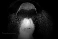 ブラッザグエノン:De Brazza's Guenon - 動物園の住人たち写真展(はなけもの写眞店)