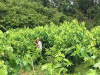 2019年夏 桑の葉採取 - マルベリークラブ中部 <自然の叡智を桑・蚕に学ぼう 環境保全・里山づくり>