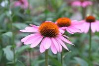 赤紫色がアクセントになるエキナセア - 神戸布引ハーブ園 ハーブガイド ハーブ花ごよみ