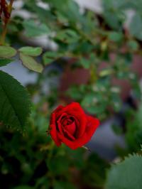 締め切りギリギリまで待って★ベランダのミニ薔薇 - 月夜飛行船