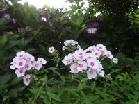 草夾竹桃 - だんご虫の花