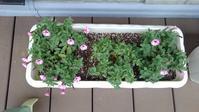 ペチュニアたち開花第二弾 - うちの庭の備忘録 green's garden