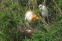 アマサギ - barbersanの野鳥観察