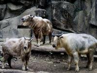6月のゴールデンターキンたち - 動物園放浪記