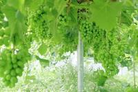袋かけ前のぶどうの様子 - ~葡萄と田舎時間~ 西田葡萄園のブログ