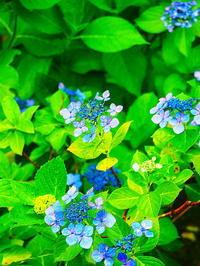 五月雨の紫陽花 - 風の香に誘われて 風景のふぉと缶