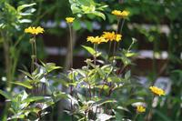 夏の花のように - my small garden~sugar plum~