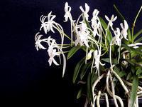 フウラン(風蘭)の開花 - しらこばとWeblog