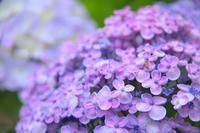 紫陽花 6京都府 - ty4834 四季の写真Ⅱ