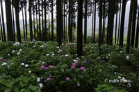 紫陽花林 - 季節のおくりもの