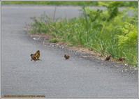 カワラヒワ道路路端で - 野鳥の素顔 <野鳥と日々の出来事>