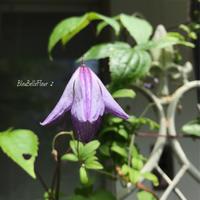 ブルー&ホワイトのクレマチスが咲いている♡ - Bleu Belle Fleur☆ブルーベルフルール