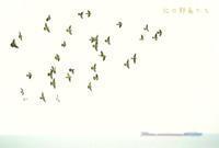 アオバト - 北の野鳥たち